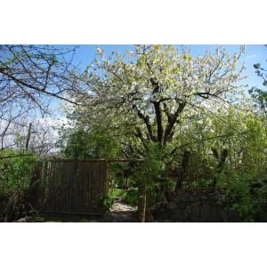 Hanami  north garden- spring 2011