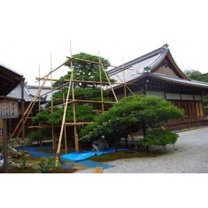 Real Japanese bonsai